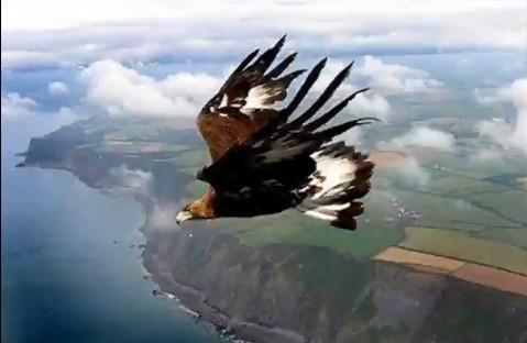 Águila en Picada Vertiginosa